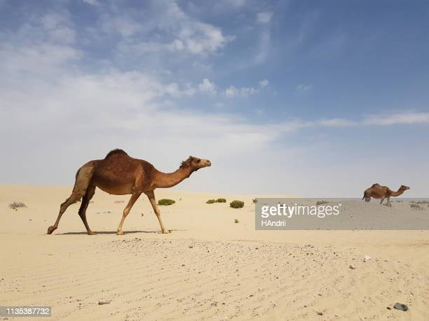 wild camels in the desert . - qatar desert stock photos and pictures