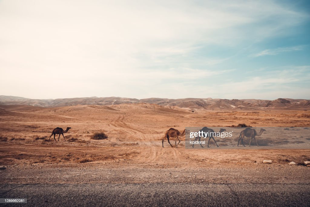 Wild camels in the desert : Stock Photo