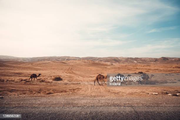 wild camels in the desert - israel stock pictures, royalty-free photos & images