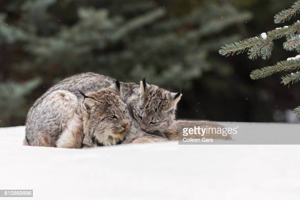 wild canada lynx, lynx canadensis, in the canadian rockies - canadian lynx stock pictures, royalty-free photos & images