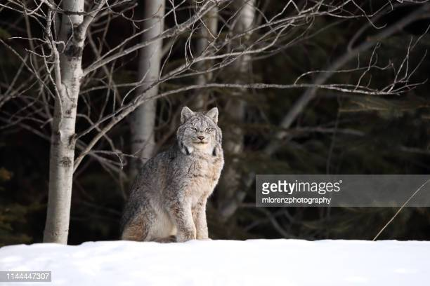 wild canadian lynx - canadian lynx stock pictures, royalty-free photos & images