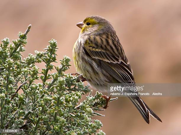 wild canary bird - tejeda canary islands stock pictures, royalty-free photos & images