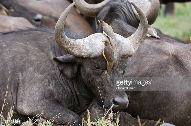 wild cape buffalo and ox peckers - symbiotic relationship stock pictures, royalty-free photos & images