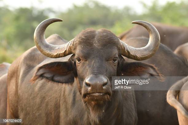 wild cape buffalo portrait in south africa - bull animal stock photos and pictures