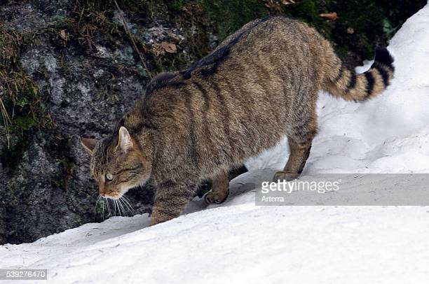 Wild cat hunting in the snow showing thick winter coat