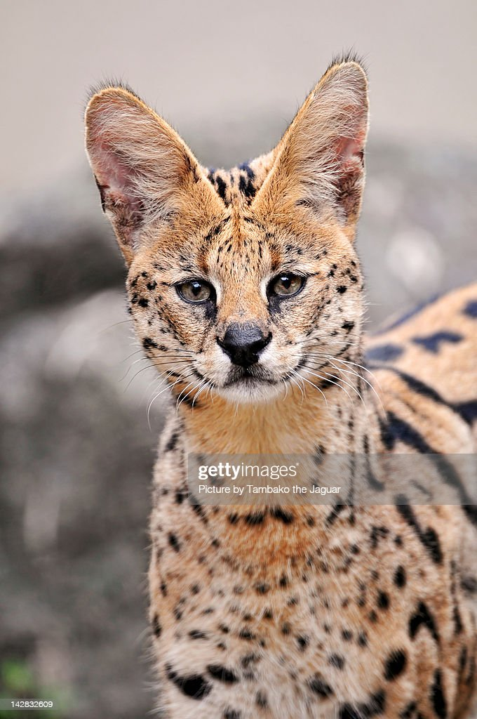 Wild cat with big ears : ストックフォト