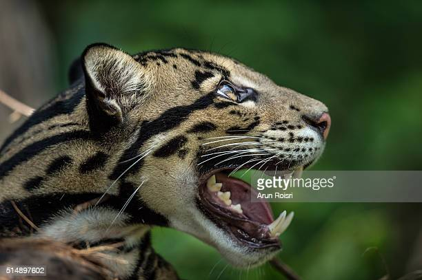 wild cats - lynx stock photos and pictures