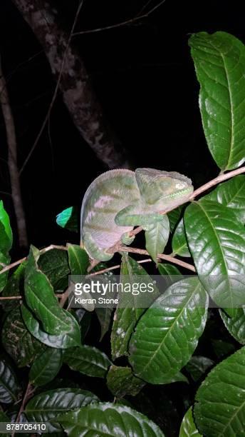 Wild Chameleon at Night