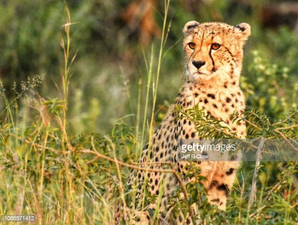 Wild cheetah in South Africa