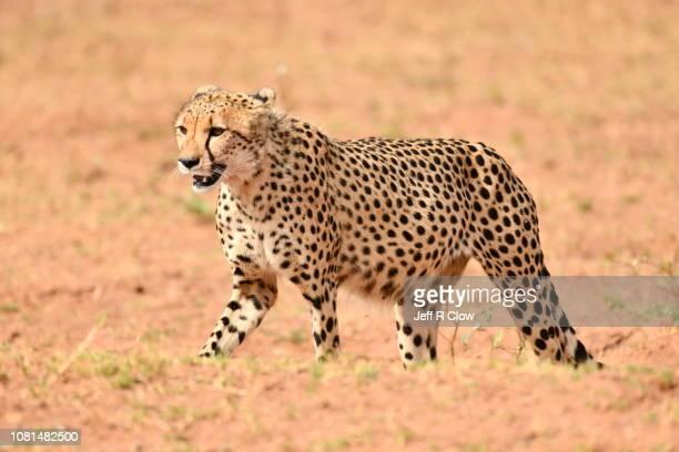 Wild cheetah moving forward in Africa