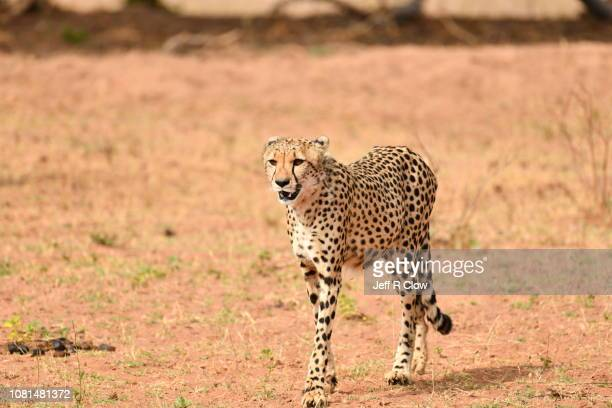 Wild cheetah on the move in South Africa