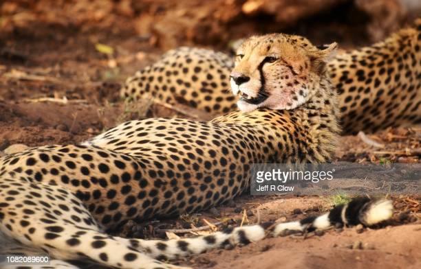 Wild cheetah resting after feeding on a zebra kill