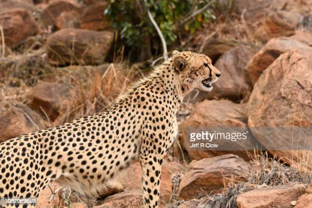 Wild cheetah resting on the rocks