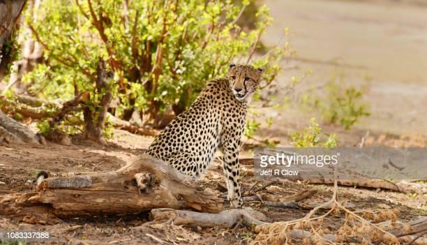 Wild cheetah rests under the tree