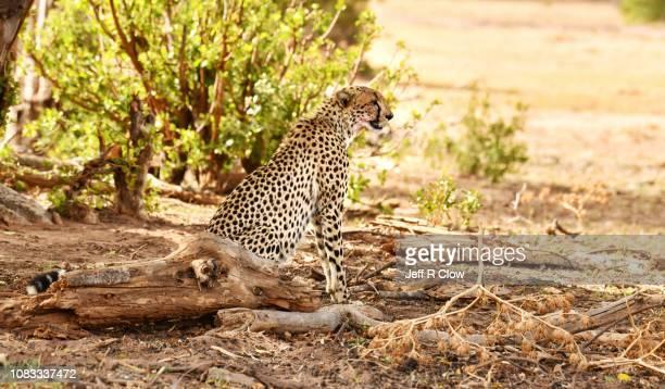 Wild cheetah sits under the tree
