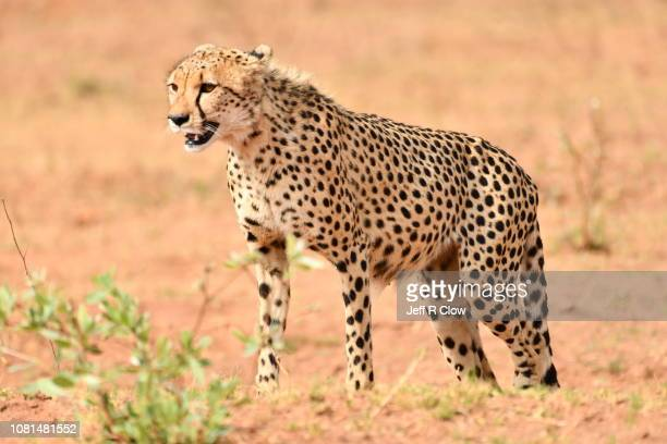 Wild cheetah standing in South Africa