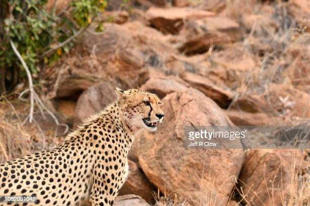 Wild cheetah stands on the high rocks in Africa