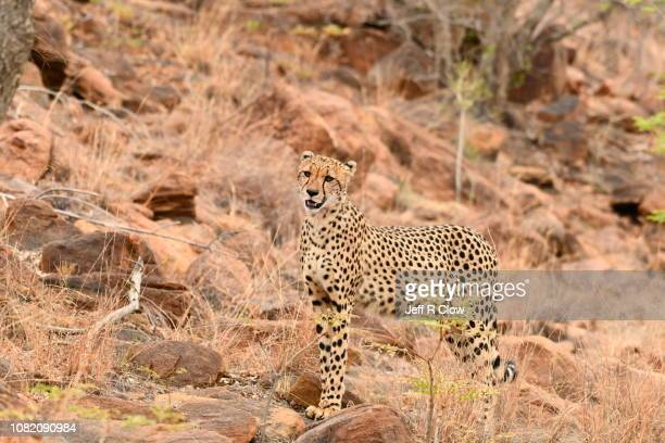 Wild cheetah stands on the high rocks in South Africa