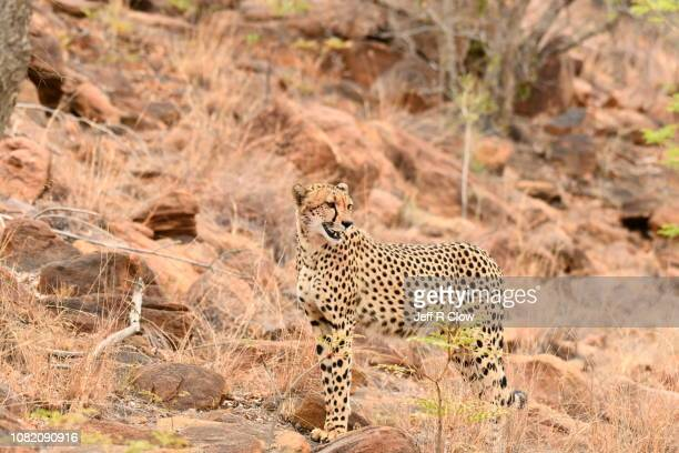 Wild cheetah stands on the rocks in South Africa