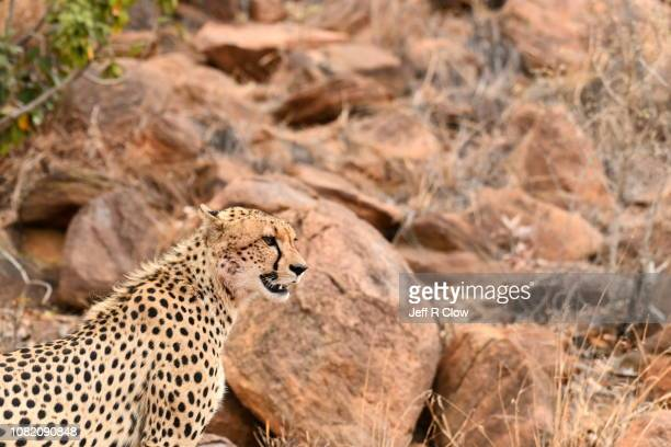 Wild cheetah stands on the rocks