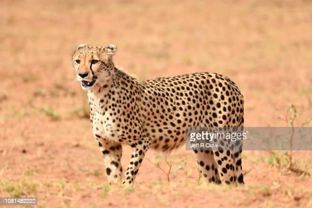 Wild cheetah stops and looks forward