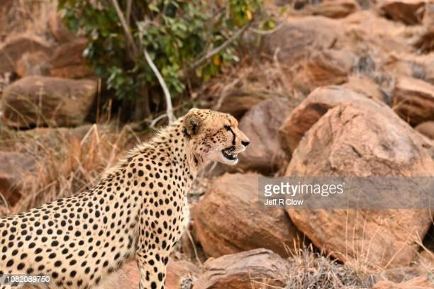 Wild cheetah stsnding on the rocks