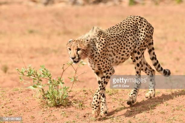 Wild cheetah walking forward in Africa