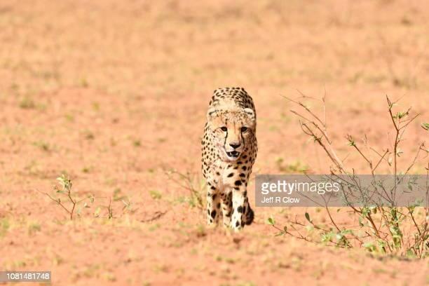 Wild cheetah walking forward in South Africa