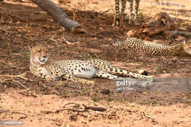 Wild cheetahs rest under the tree
