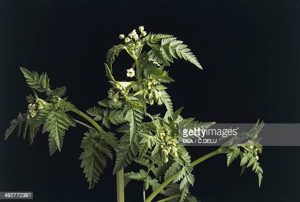 Wild chervil or Cow parsley Apiaceae
