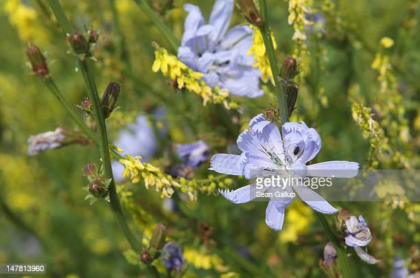 Wild chicory flowers at a test field operated by the Saaten Zeller company on July 3 2012 in Phoeben Germany The German government is funding various...