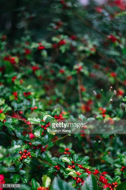 wild christmas berry and bokeh - bloomington indiana stock pictures, royalty-free photos & images