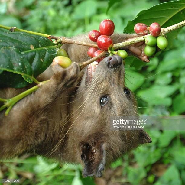 A wild civet eats ripe Arabika coffee fruits at a coffee plantation producing the expensive Luwak coffee in Bangli district on Bali island on July 21...