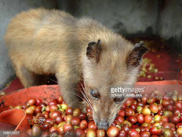 A wild civet in a cage is fed ripe Arabika coffee fruits at a coffee plantation producing the expensive Luwak coffee in Bangli district on Bali...