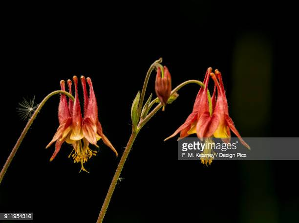 wild columbine (aquilegia), canadensis ranunculaceae, new york botanical garden - columbine flower stock pictures, royalty-free photos & images