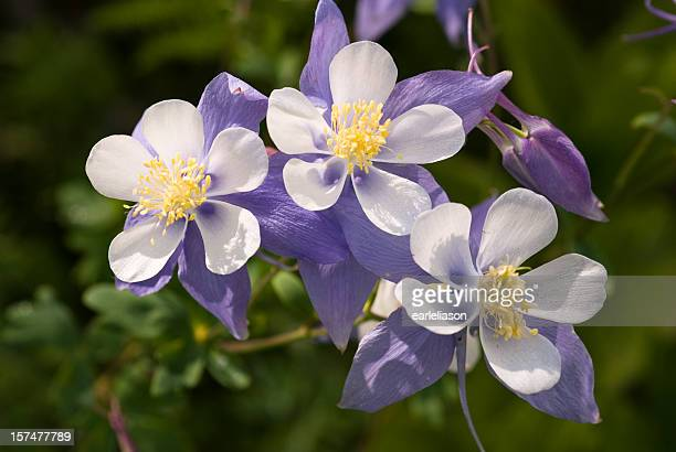 wild columbine - three - columbine flower stock pictures, royalty-free photos & images