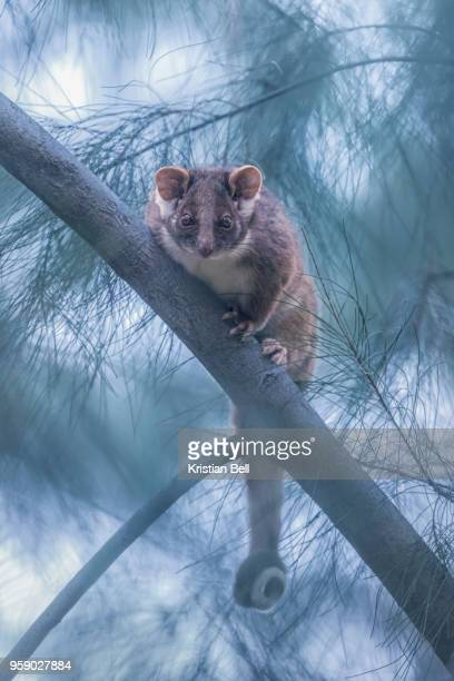 wild common ringtail possum (pseudocheirus peregrinus) on sheoak branch - possum stock pictures, royalty-free photos & images