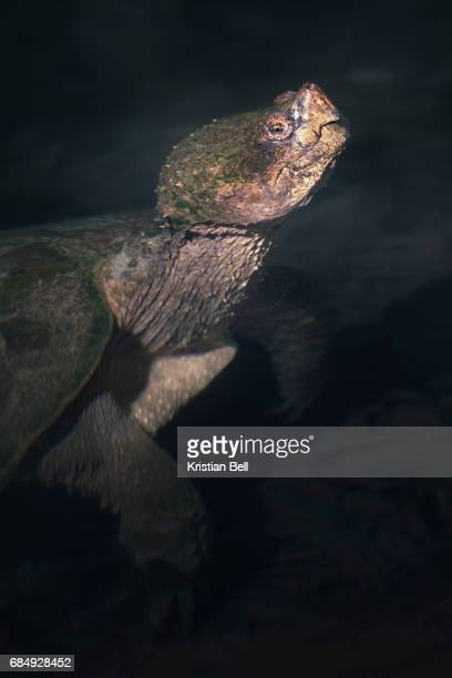 wild common snapping turtle (chelydra serpentina) in clear spring water - snapping turtle stock pictures, royalty-free photos & images