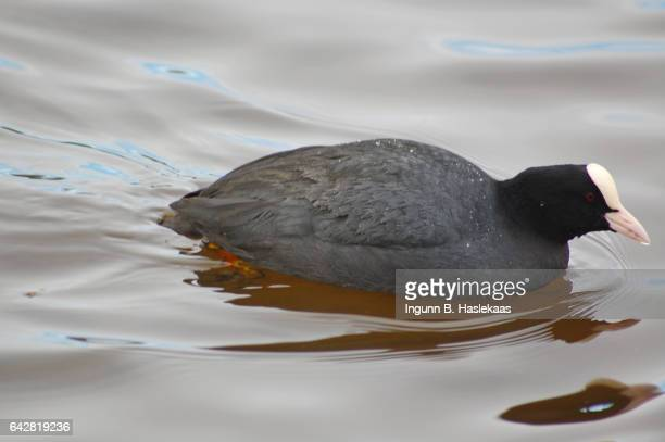 Wild coot creating ripples in the water when swimming in winter.