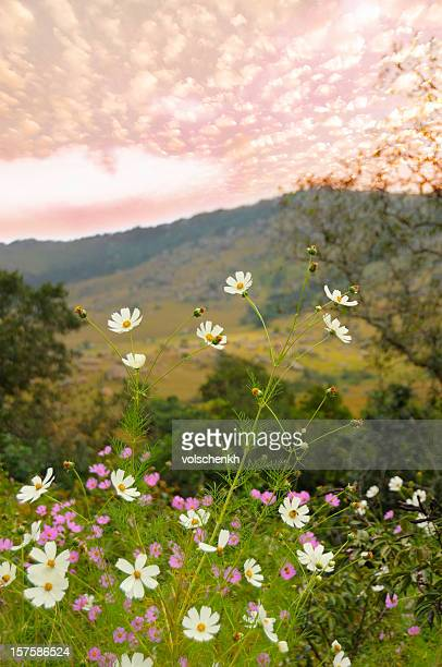 wild cosmos - swaziland stock photos and pictures