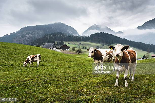 wild cows in the alps for the pasture - grazing stock pictures, royalty-free photos & images