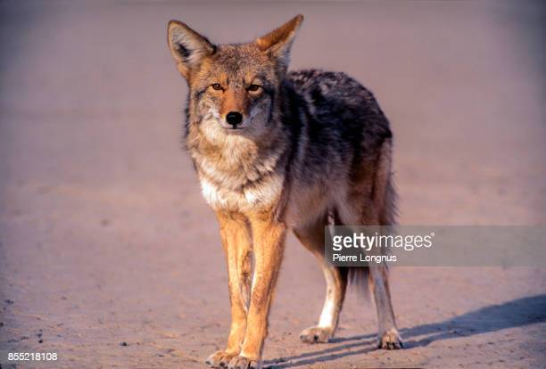 wild coyote in the badwater basin region in death valley national park, usa - coiote imagens e fotografias de stock