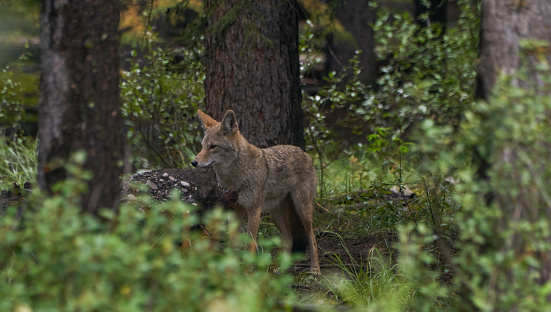 Wild Coyote in the Breathtakingly Beautiful Scenery of Banff National Park, Alberta, Canada 1176901049