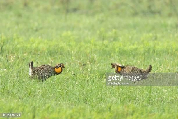 wild critically endangered pair attwater prairie chicken national wildlife refuge - milehightraveler stock pictures, royalty-free photos & images