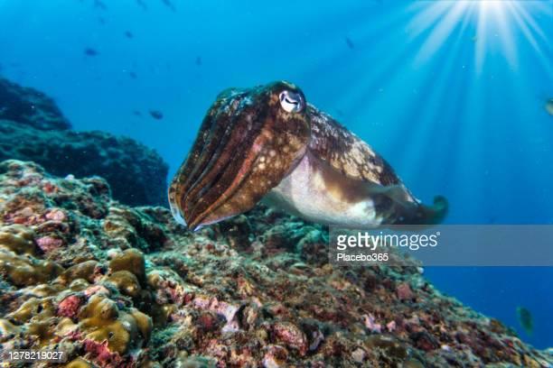 natation sauvage de seiche sur le récif de corail sous-marin pov - océan indien photos et images de collection