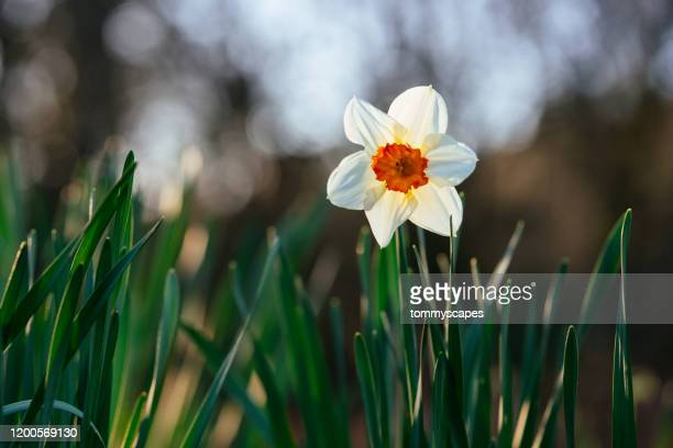 wild daffodil blooms in spring - daffodils stock pictures, royalty-free photos & images