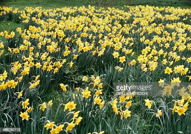 Wild daffodil or lent lily Amaryllidaceae