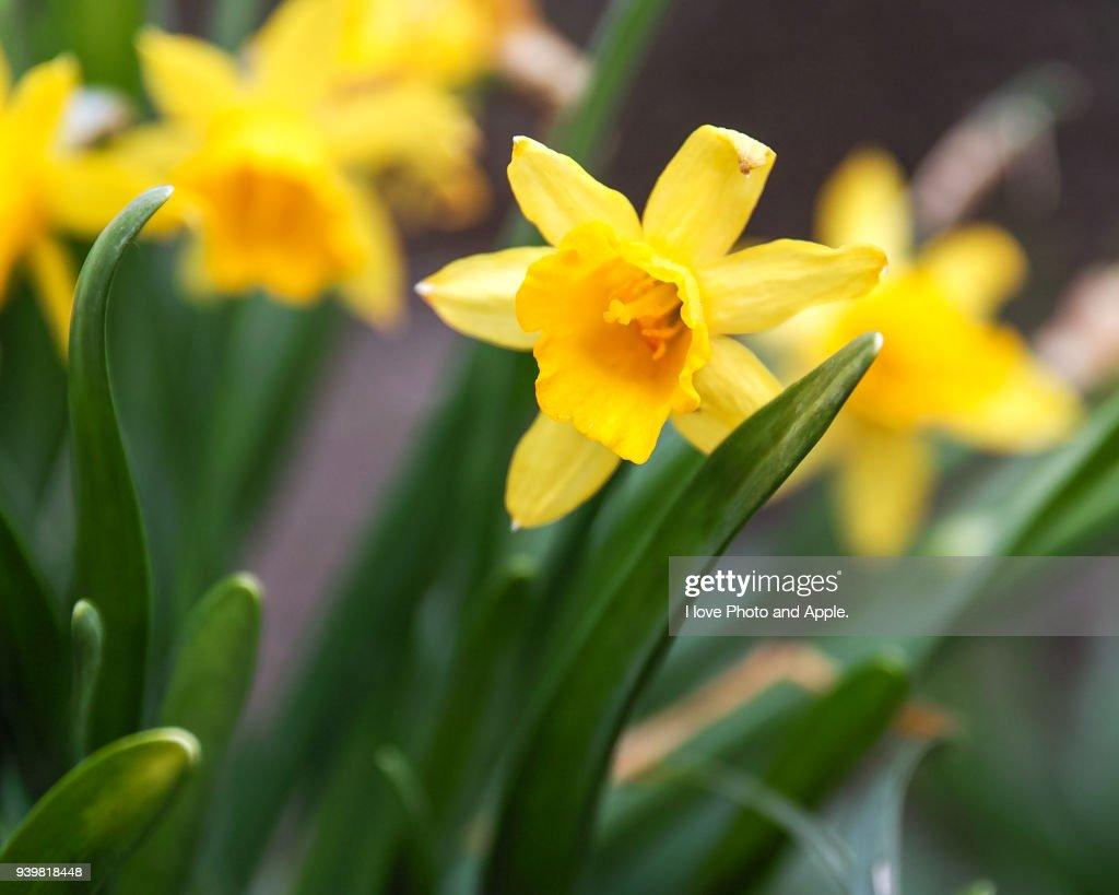 Wild daffodil : Photo