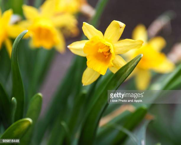 wild daffodil - daffodils stock photos and pictures