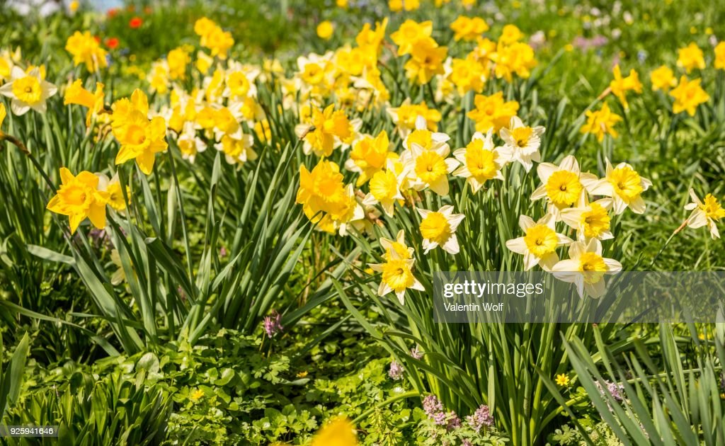 Wild daffodils daffodils flower bed spring flowers planten un blomen wild daffodils daffodils narcissus pseudonarcissus flower bed spring flowers planten mightylinksfo